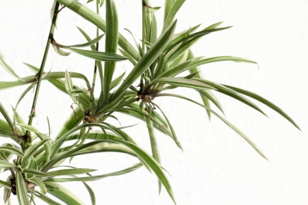 growing and caring for spider plants. Black Bedroom Furniture Sets. Home Design Ideas