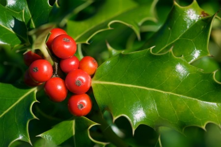 Planting And Taking Care Of A Holly Bush Doityourself Com