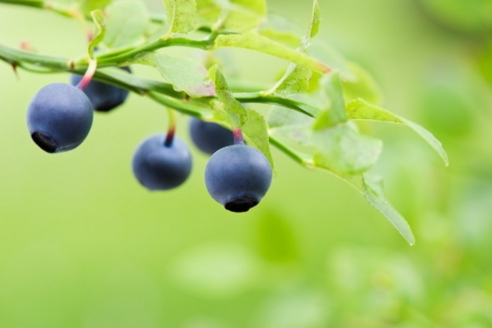 How To Fertilize Blueberry Bushes Doityourself Com
