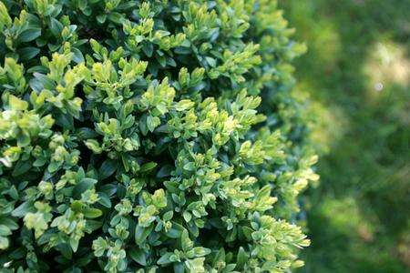 Choosing Companion Plants For Your Boxwood Doityourself Com