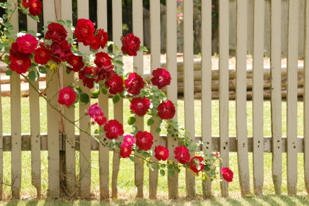 How To Plant And Train A Climbing Rose Doityourself Com