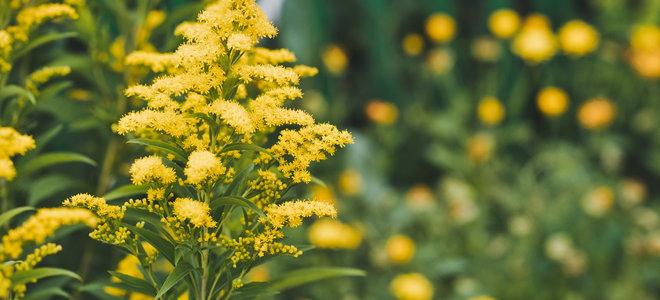 Goldenrod flowers.