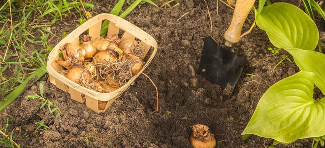 Bulbs being planted in a garden.