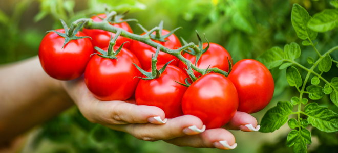 hand holding full-bodied ripe vine tomatoes
