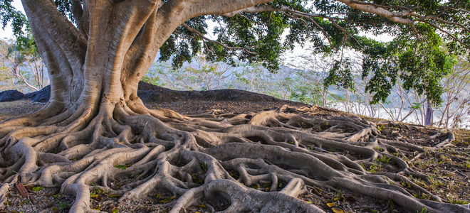 large root system under big tree