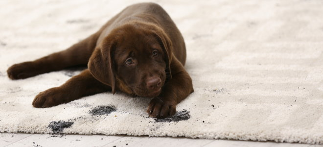 dirty puppy on the carpet