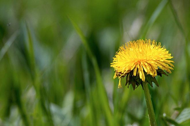 Одуванчик в траве.