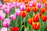 Pink and orange tulips.