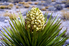 a flowering yucca plant
