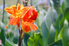 orange canna lily flower