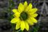 A gerbera daisy.