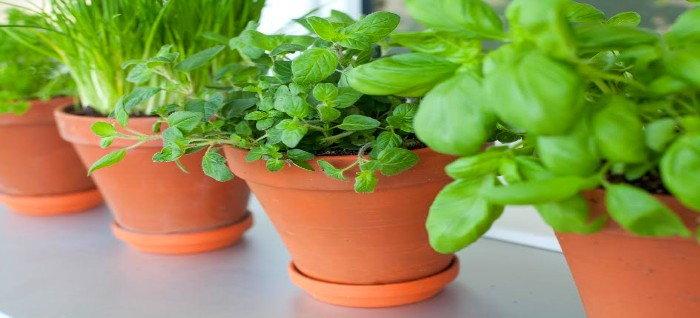pots of herbs on a windowsill