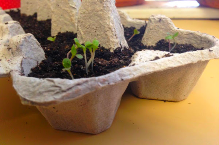 seedling sprouting in egg carton planter