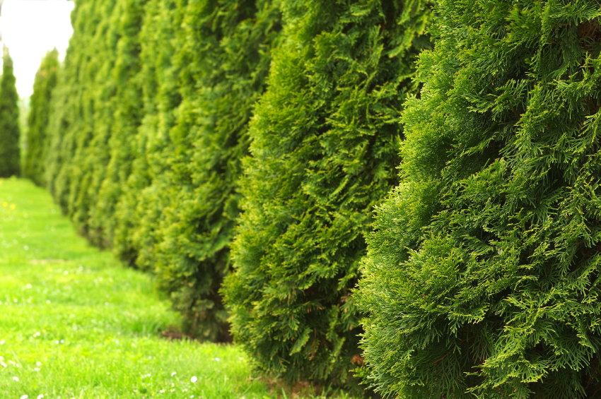 4 Different Varieties Of Arborvitae Doityourself Com