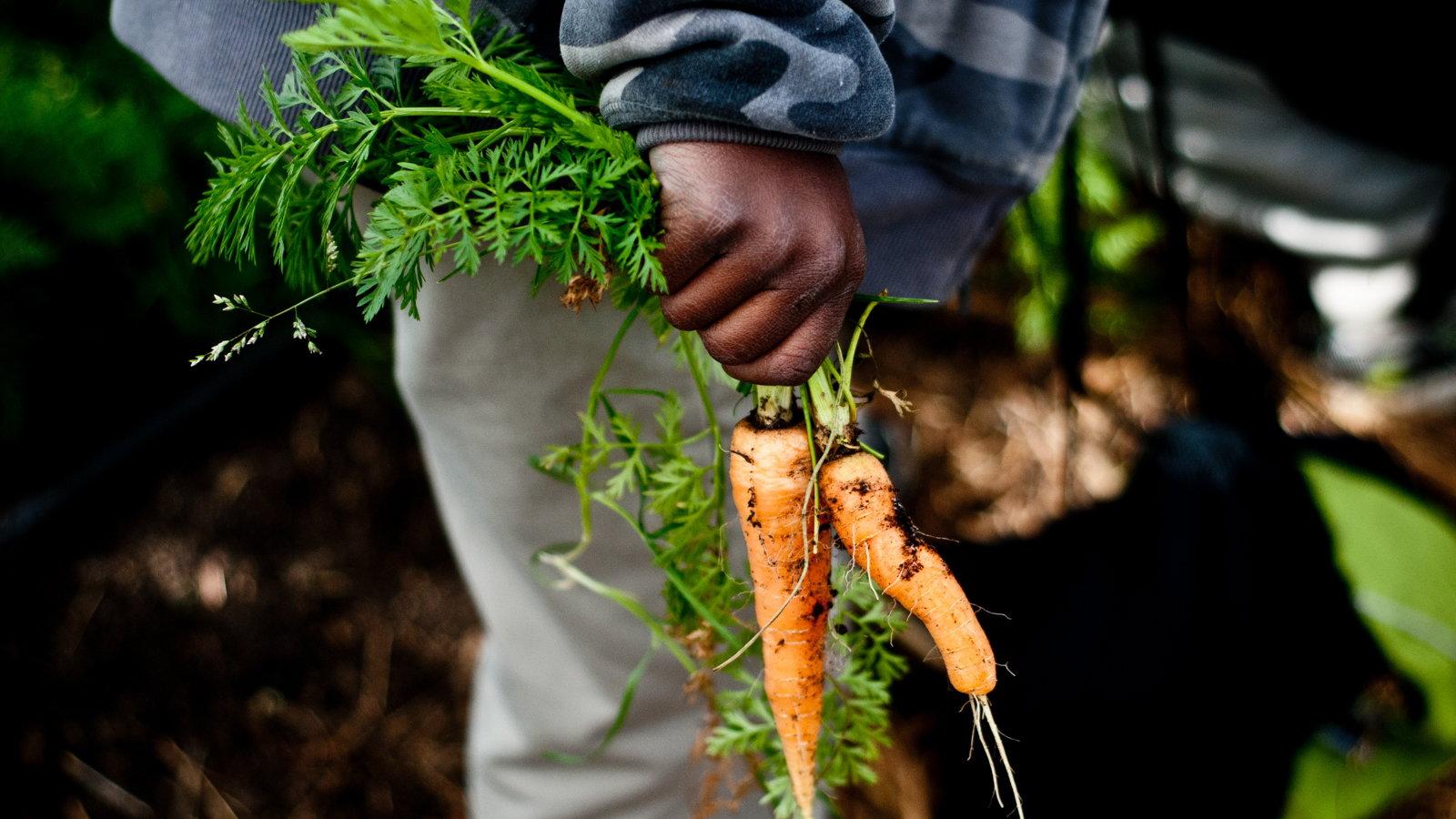 carrots from a garden