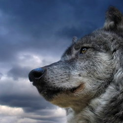wolf looking into the abyss