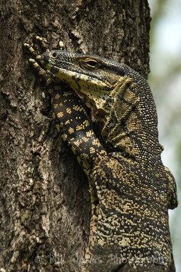 Goanna in tree.JPG