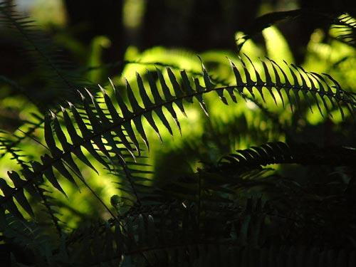 FERN-BACKLIGHT-500.jpg