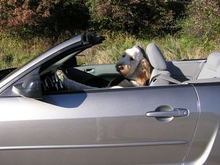 Odie Driving His Mustang