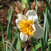 Narcissus Division 7 Jonquilla Gentle Giant