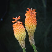 Red Hot Poker