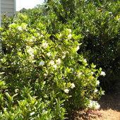 Gardenia, Summer 2012.