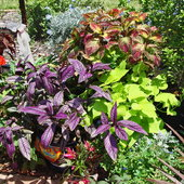 lizard lounge plantings of colorful coleus, persian shield and sweet potato vine...