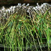 This was our garlic harvest this year. Garlic is an excellent natural antibiotic and is great for treating pneumonia and many types of infections.