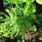 Maidenhair fern gives an airy delicate look to your garden.