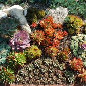 More Echeverias in succulent garden