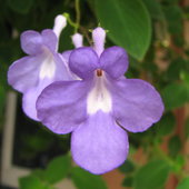 Streptocarpus caulescens or Nodding Violet