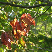 And so it begins .. cooler days and changes of Dogwood  leaves ..