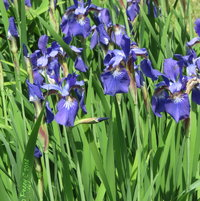 Japenese Iris