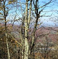 Leafless trees on Mt Jefferson .. looking below ..