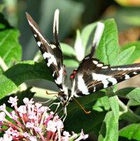 Long tailed Zebra Swallowtail - Buddleja - next door