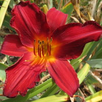 ..new Daylily .. opened on 4July2014