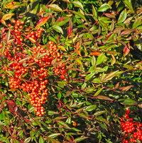 Berried on Nandina shrub ..