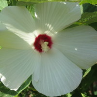 Rose of Sharon [ a variety of Hibiscus -  (Hibiscus Syriacus)