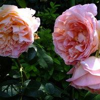 Climbing Rose 'Papi Delbard' bred by Delbard, France 1995