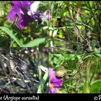 Lady of the Garden - Argiope