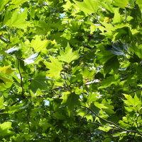 London Plane Tree foliage  (Platanus×acerifolia)