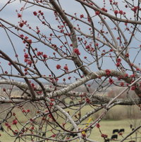 Maple tree budding
