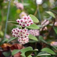 close up hoya flowers