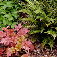 June - Heucherella Marmelade & Polystichum Tsus-Simense