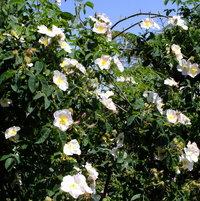 Hybrid Moschata Rose 'Dupontii' bred by André Du Pont, France 1917