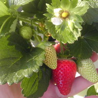 Tower Garden strawberries.