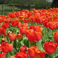 First year for new border Tulips - Ad Rem - Appeldoorn - Banja Luka - Orange Lion