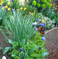 daffodil anemone