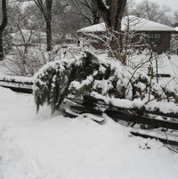 Stately junipers are bent double by the weight of the snow.