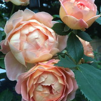 """Lady of Shallott"" Rose"